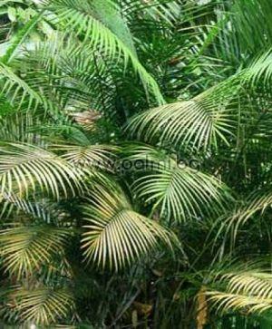 Ропалобласте, Никобарска Величествена Палма