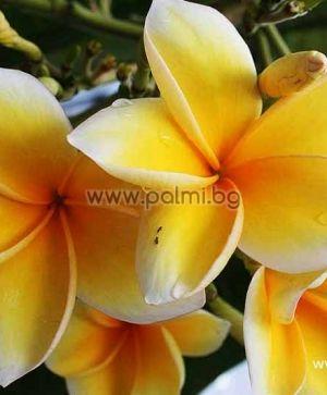 56. Плумерия сорт Bali Hai Gold, Франджипани