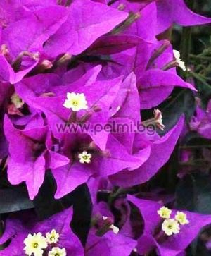 Bougainvillea, violett, 'Sanderiana'
