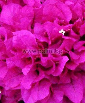 Бугенвилея, лилава, сорт 'Praiola Pride'