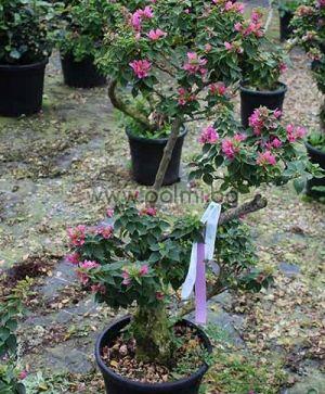 Бугенвилея, лилава 'Mini Thai' Bonsai