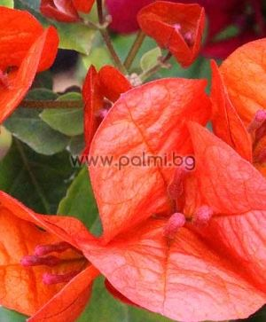 Bougainvillea 'Orange Picot'