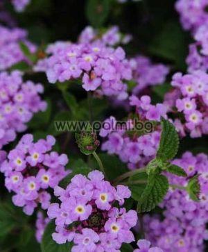 Lantana (violet)