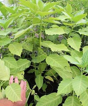 Brugmansia arborea, Datura arborea, Оранжева Бругманзия, Датура
