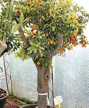 Fortunella margarita, Nagami Kumquat ist eine der wertvollsten Zitrusarten