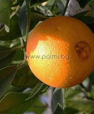 Портокал сорт Вашингтон Навел