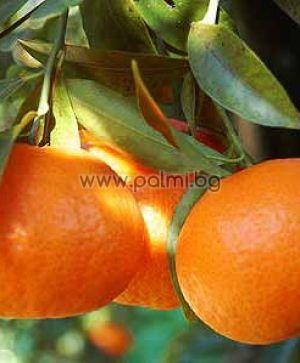 Mandarin Tardivo, Clementine type