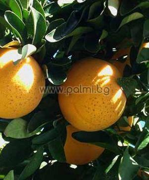 Citrus paradisi cv. Star Ruby  Grapefruit, Star Ruby Sorte von Botanischem Garten - Plovdiv, Bulgarien