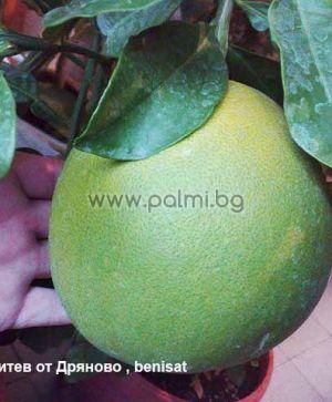 Citrus grandis, Citrus maxima  Pomelo, Pummelo, Pampelmuse von Botanischem Garten - Plovdiv, Bulgarien