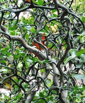 Poncirus trifoliata 'Flying Dragon'  Трилистен портокал 'Летящ Дракон' от Палм Център, Ботаническа градина - Пловдив