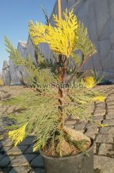 Variegated Incense Cedar