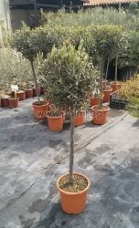 Selected coldhardy olive variety Elit-5