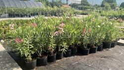 Oleander 'Professeur Granel', Double Red, scented