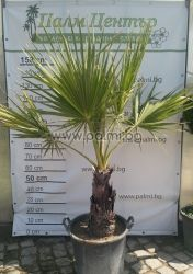 Washington palm, California Fan Palm
