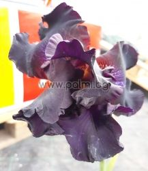 Bearded Iris  Black Knight