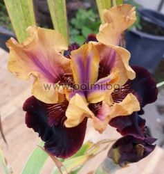 Bearded Iris  Eye wonder