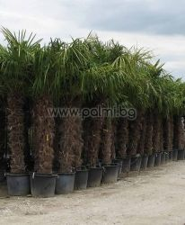 Windmil palm, Chusan palm, Trachycarpus palm 1,6 m trunk