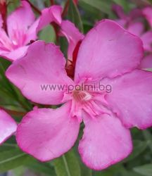 Oleander Album Maximum, white