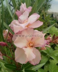 Oleander, cold hardy, 'Provence'М