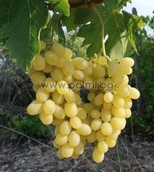 Table grape Bolgar