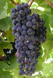 Table grape Attika