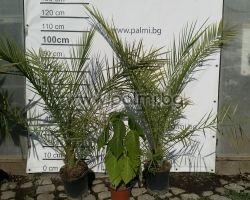 Canary Island Date Palm, 120-130 cm, pot 4 ltr.