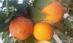 Orange Washington Navel on P. Trifoliata rootstock