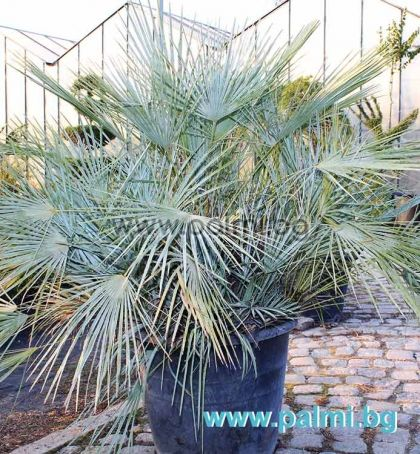 Blue Mediterranean Fan Palm, Cerifera