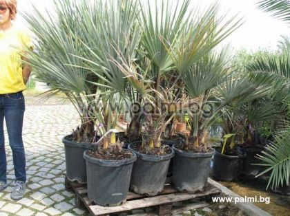 Mexican Blue Palm in 35 liter pot