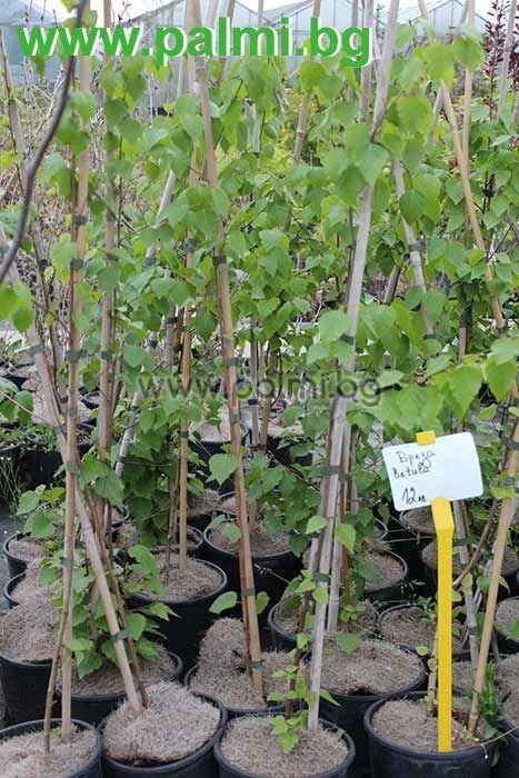 Himalaya Birke betula alba birke botanischem garten plovdiv bulgarien