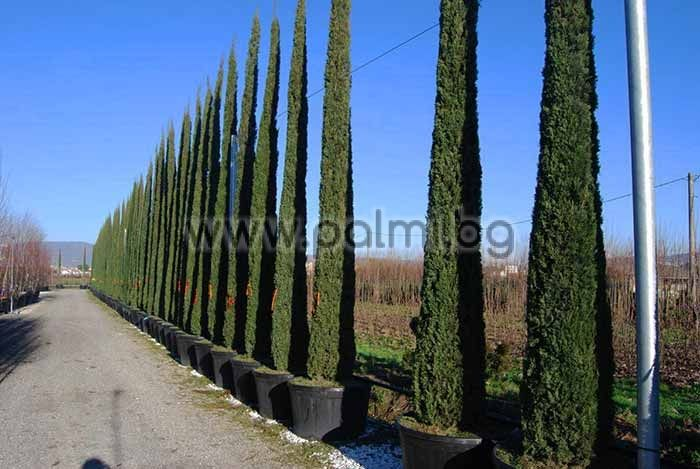 cupressus sempervirens 39 totem 39 mediterranean cypress. Black Bedroom Furniture Sets. Home Design Ideas