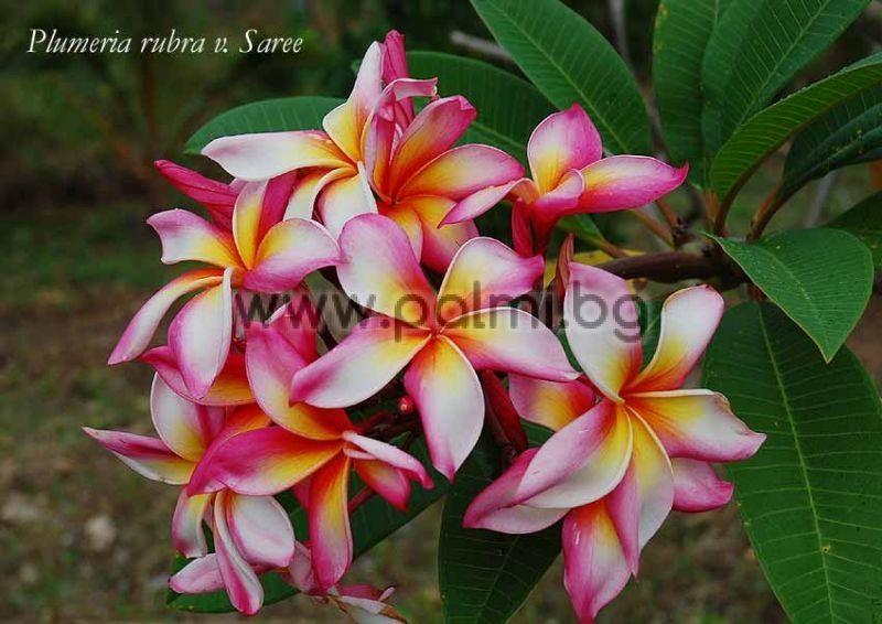 Plumeria rubra cv. Saree, Frangipani