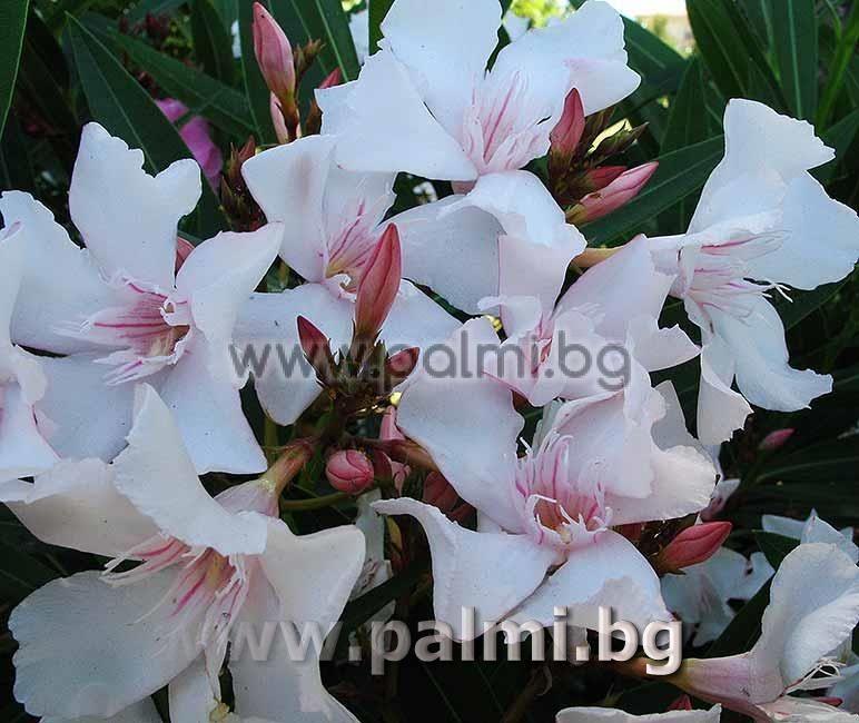 Nerium oleander \'Alsace\', Oleander, white flowers with pink center