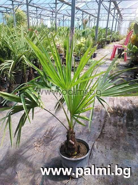 trachycarpus fortunei chinesische hanfpalme trachycarpus. Black Bedroom Furniture Sets. Home Design Ideas