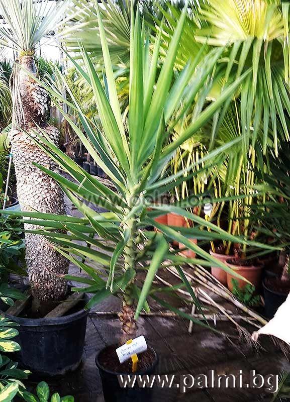 yucca elephantipes yucca palme palmlilie von botanischem. Black Bedroom Furniture Sets. Home Design Ideas