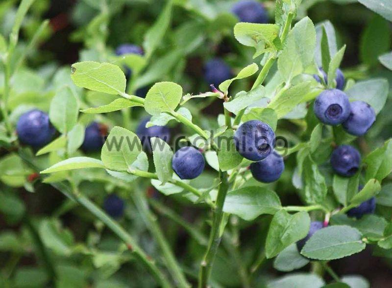 vaccinium myrtillus bilberry european blueberry