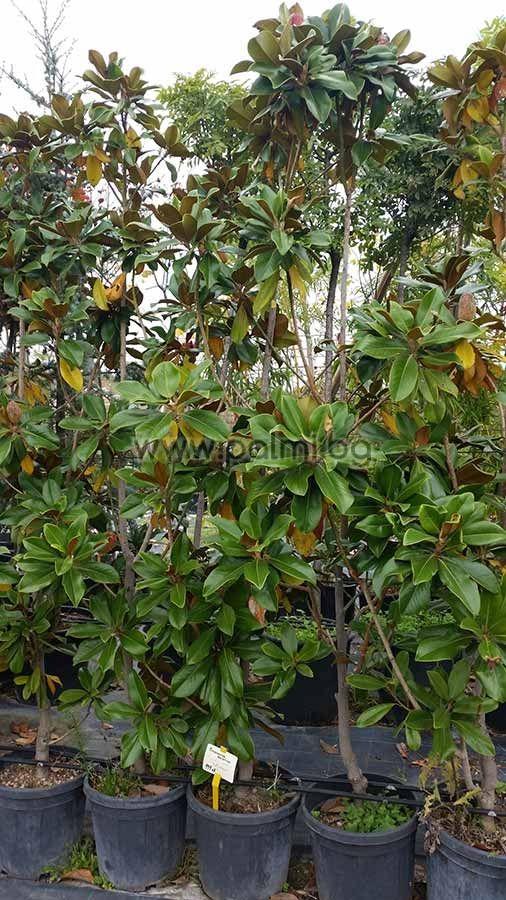 magnolia grandiflora gallisoniensis gro bl tige magnolie 39 galissoni re 39. Black Bedroom Furniture Sets. Home Design Ideas