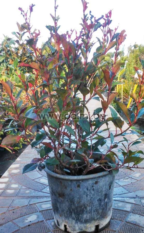 photinia x fraseri red robin compacta from botanical garden plovdiv bulgaria. Black Bedroom Furniture Sets. Home Design Ideas