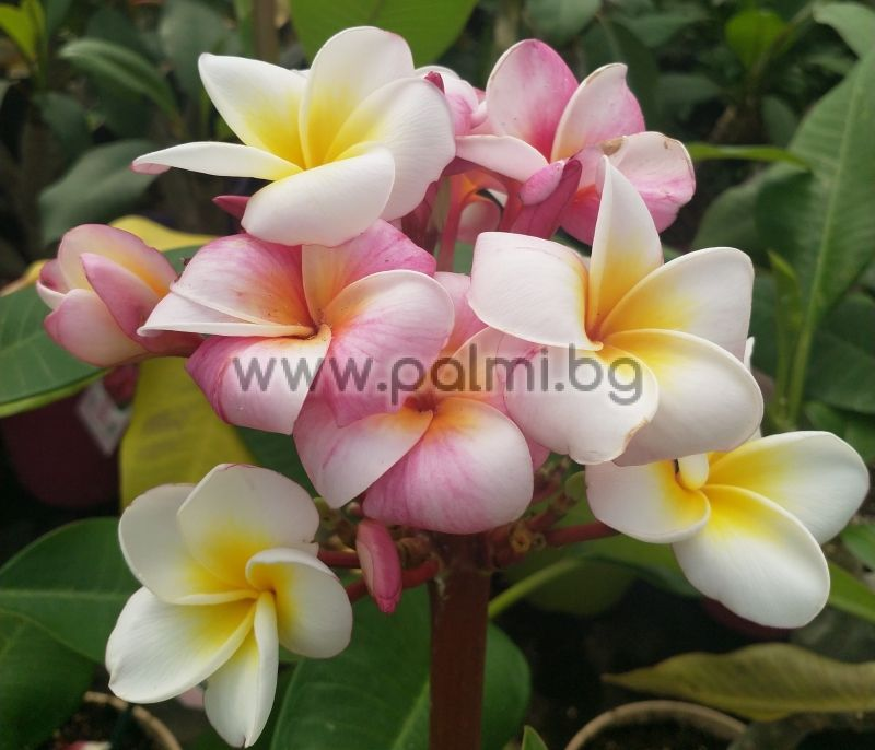Plumeria rubra cv. Divine, Frangipani