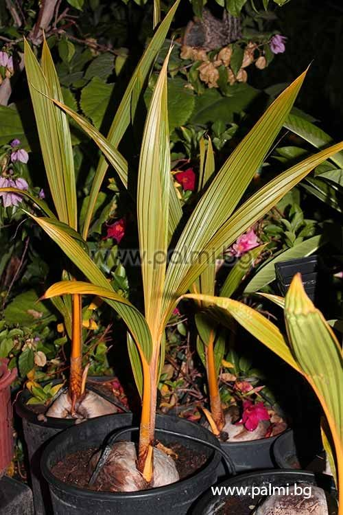 Cocos nucifera malayan dwarf gold for Pianta di cocco