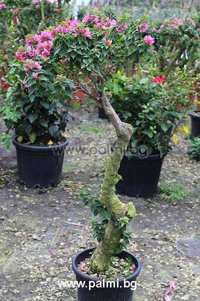 bougainvillea glabra 39 sanderiana 39 bonsai purple