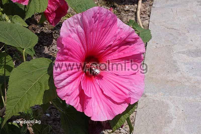 Hibiscus Moscheutos Luna Red Rose Mallow