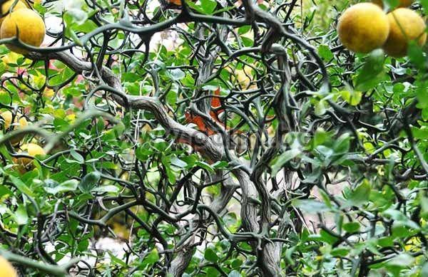 poncirus trifoliata  u0026 39 flying dragon u0026 39  trifoliate orange