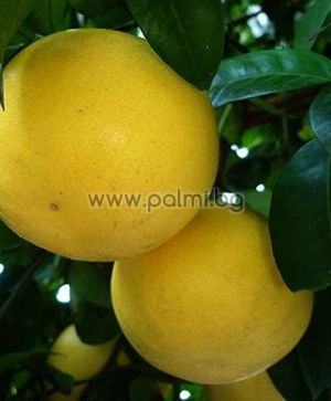 Grapefruit, variety Marsh seedless
