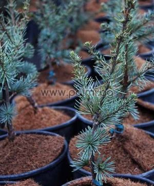 Grafted Atlas Cedar