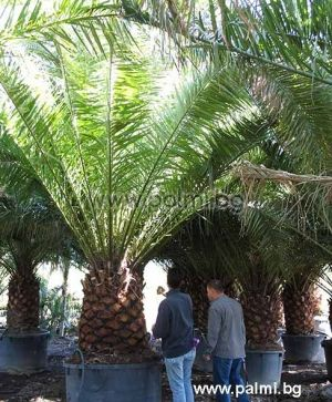Canary Island Date Palm 950 liters