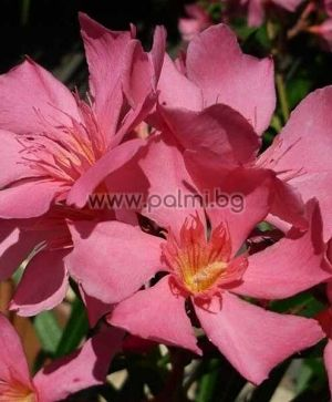 Oleander pink with yellow center, 'Soleil Levant'