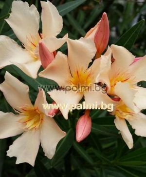 Oleander light orange, 'Angiolo Pucci'