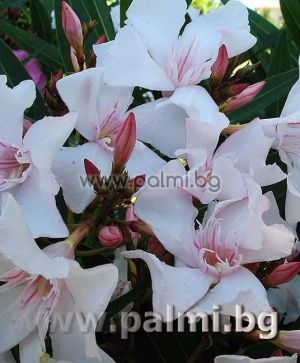 Oleander, white flowers with pink center, 'Alsace'