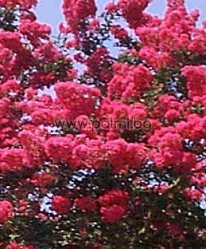 Crape Myrtle Watermelon Red